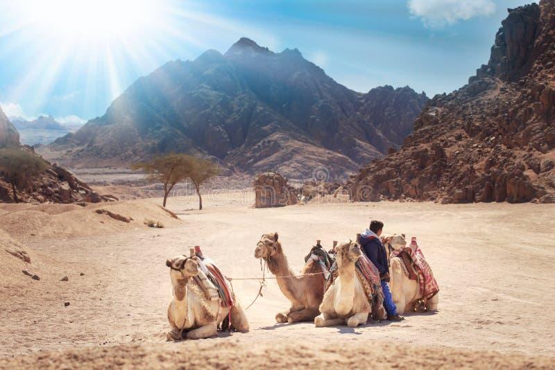 Kamel är i den Sinai öknen, Sharm el Sheikh, den Sinai halvön, Egypten härlig soldag ovanför berg royaltyfri fotografi