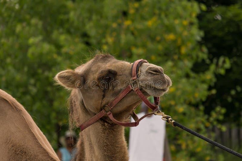 Kamel royaltyfri foto