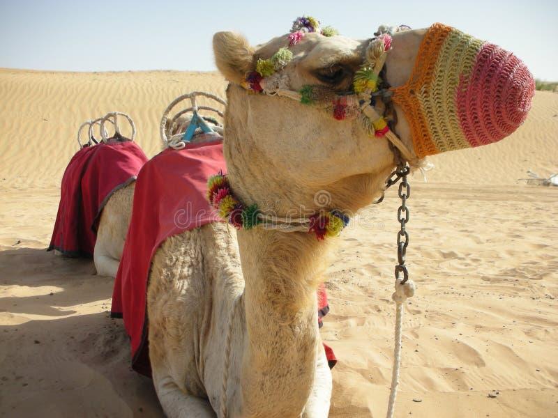 kamel royaltyfria bilder