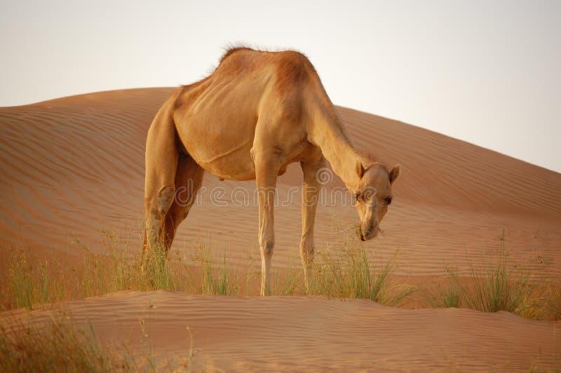 Download Kamel stock photo. Image of camel, kamel, arabien, sand - 9932376