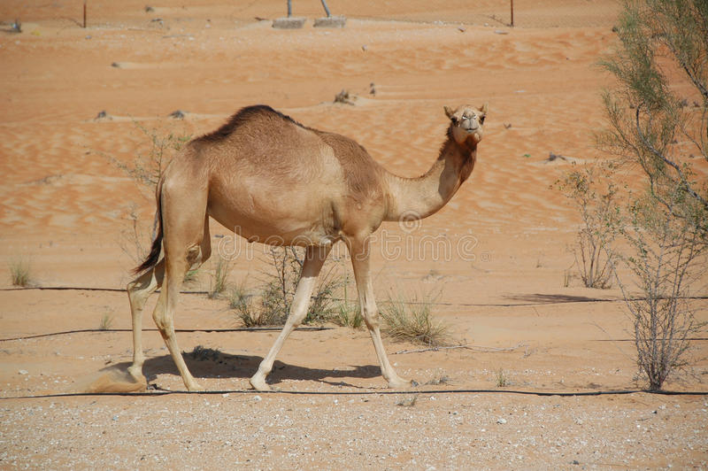Kamel arab (Camelusdromedariusen) arkivfoto