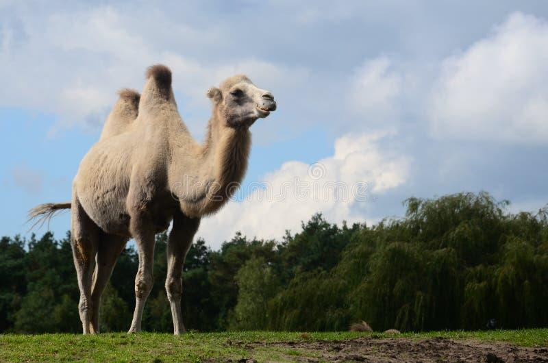 Kamel auf einer Safari stockbild