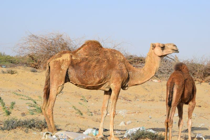 Kamel av öknen av Saudiarabien fotografering för bildbyråer