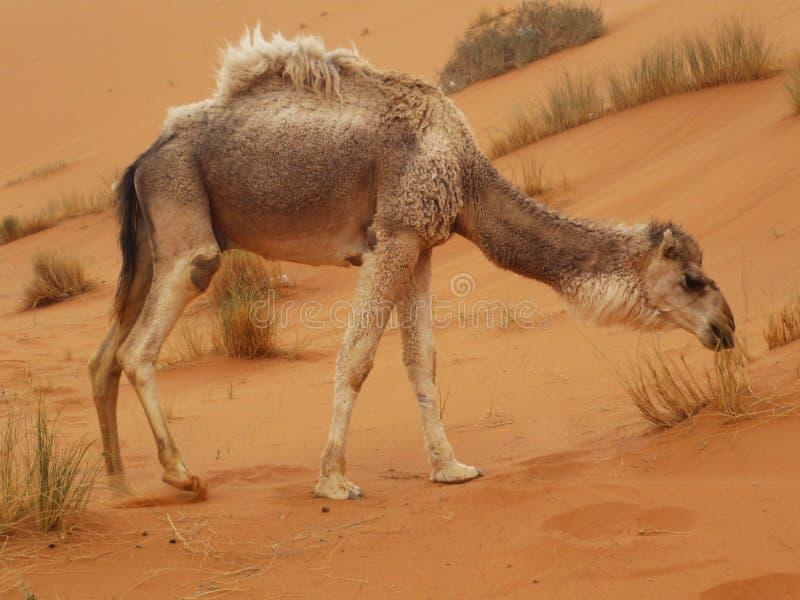 Kamel bei Merzouga, Marokko lizenzfreie stockfotos