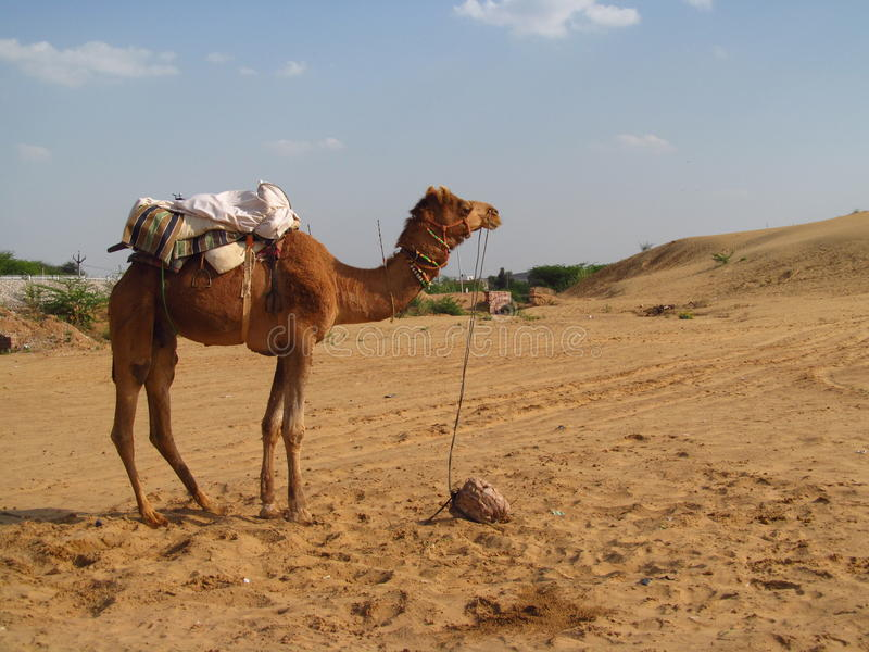 Kamel, das auf dem Sand in der Wüste steht lizenzfreie stockfotografie