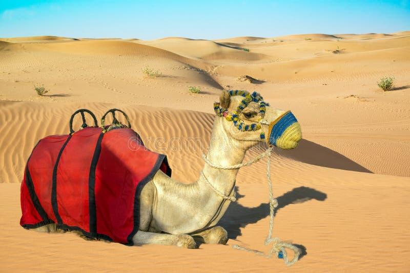 Kamel, das auf Sanddüne mit Reitsattel legt lizenzfreie stockbilder
