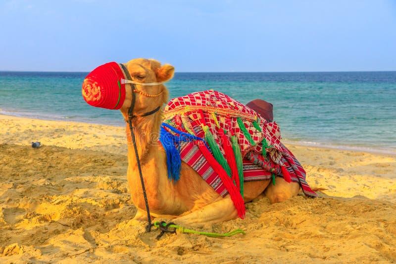 Kamel, das auf Strand sich entspannt lizenzfreie stockbilder