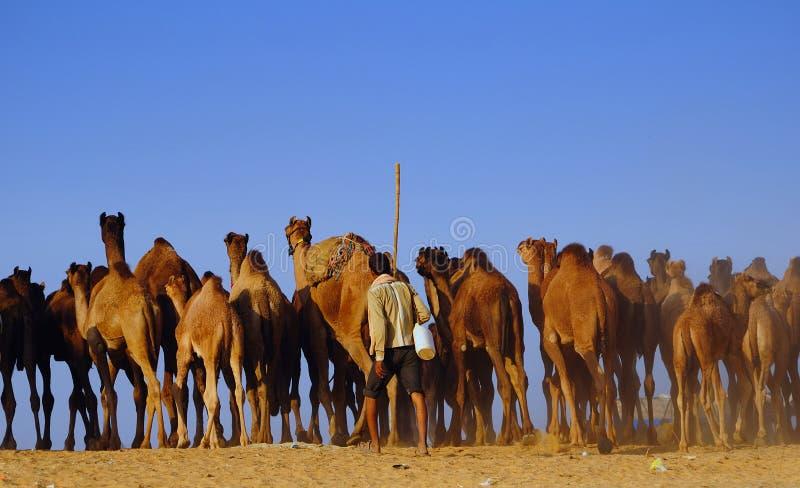 Kamel, das ehrlich in Pushkar in Herden lebt stockfoto
