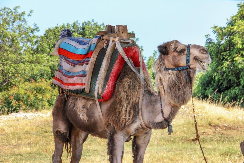 Kamel, das im Schatten 1 stillsteht stockbild