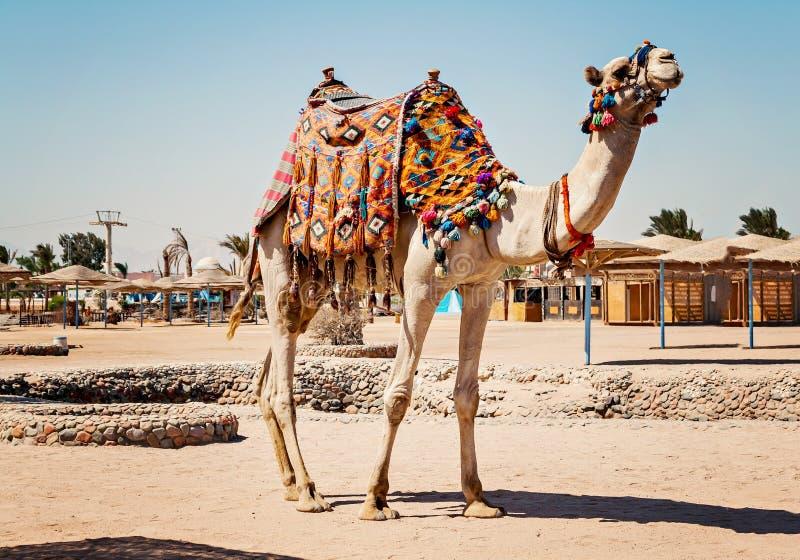 Kamel, das zu seiner vollen Höhe mit für touristische Reisen zu HU steht lizenzfreie stockbilder