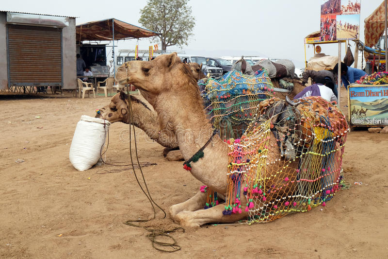 Kamel in der Thar-Wüste beim Pushkar angemessen, Indien stockbilder