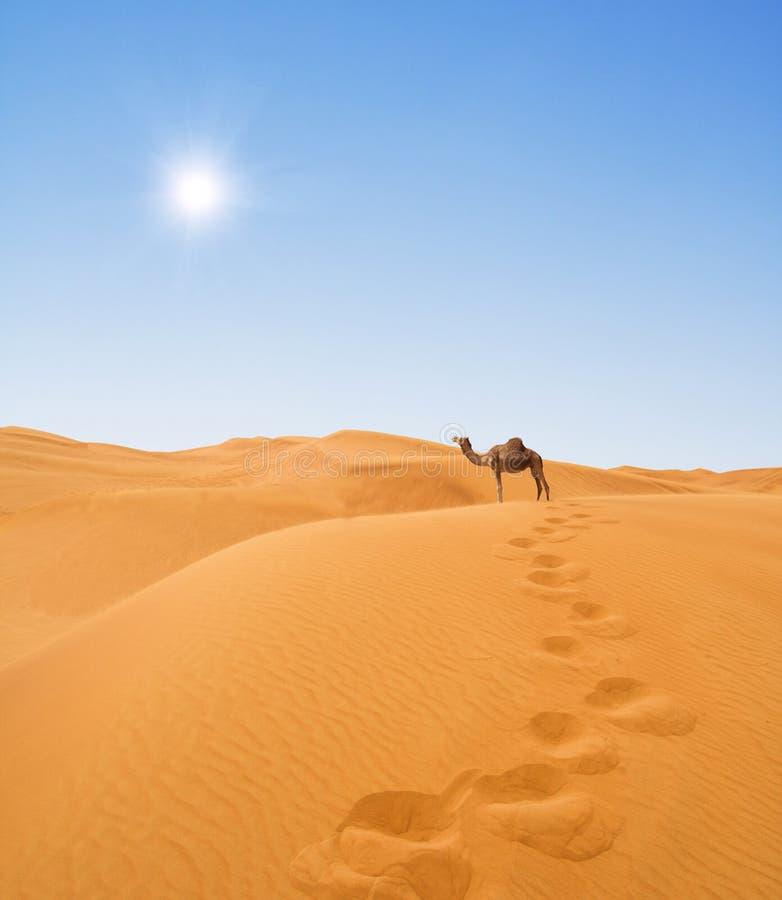 Kamel in der Wüste lizenzfreie stockfotografie