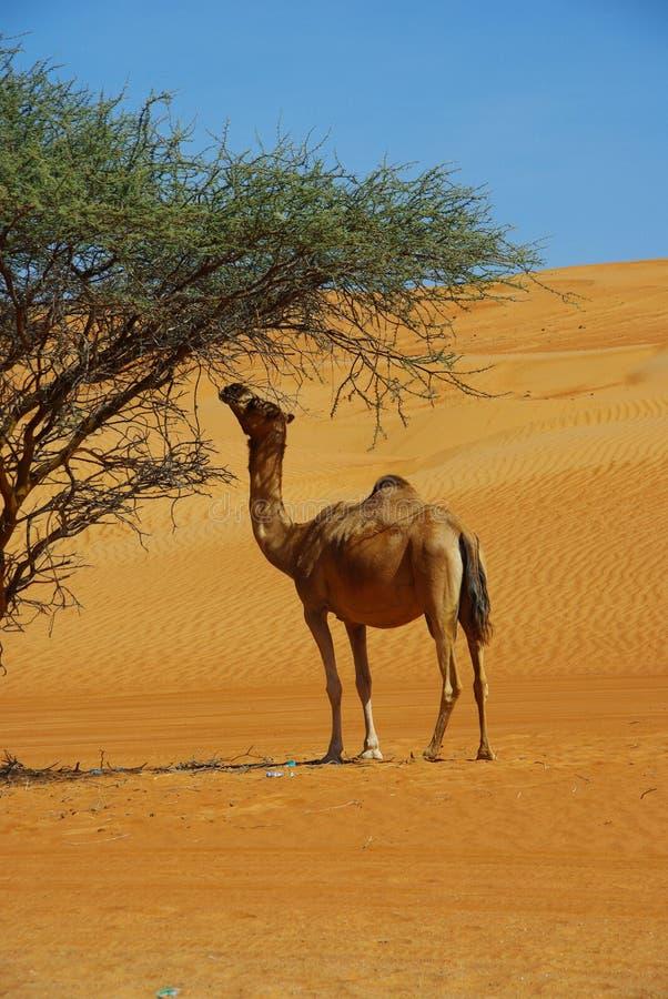 Kamel in der Wüste stockbild