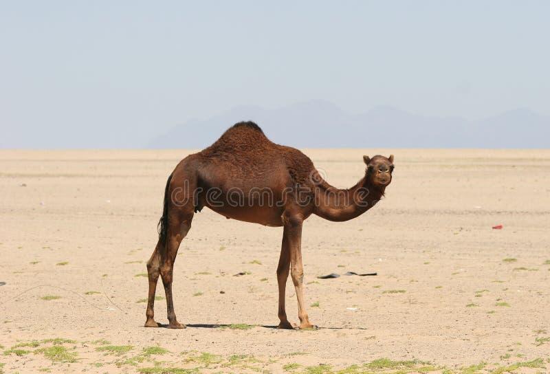 Kamel in der Wüste lizenzfreies stockbild
