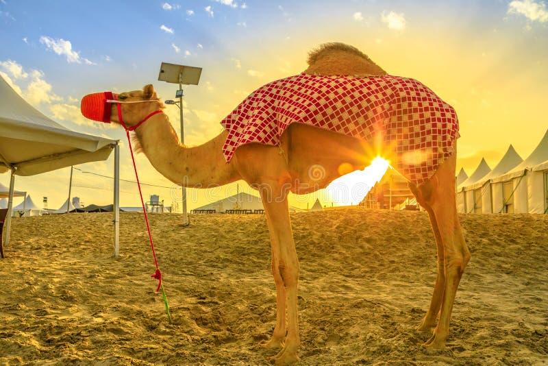 Kamel in der Wüstensafari lizenzfreies stockfoto