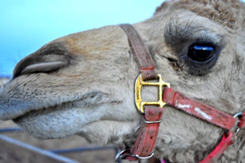 Kamel dromedar, ljus - som är brunt med den röda selet arkivfoto