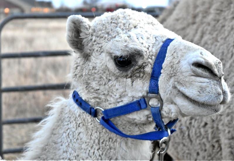 Kamel dromedar som är vit med den blåa selet fotografering för bildbyråer