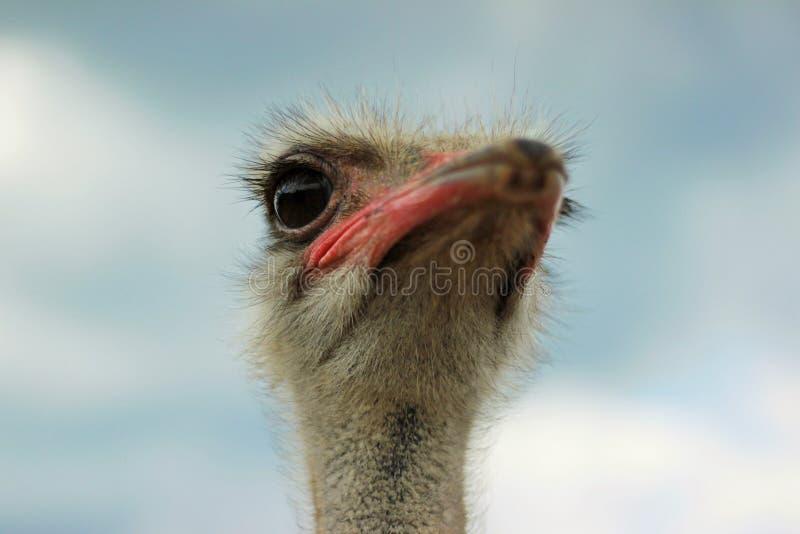 Kamel-fågel arkivbilder