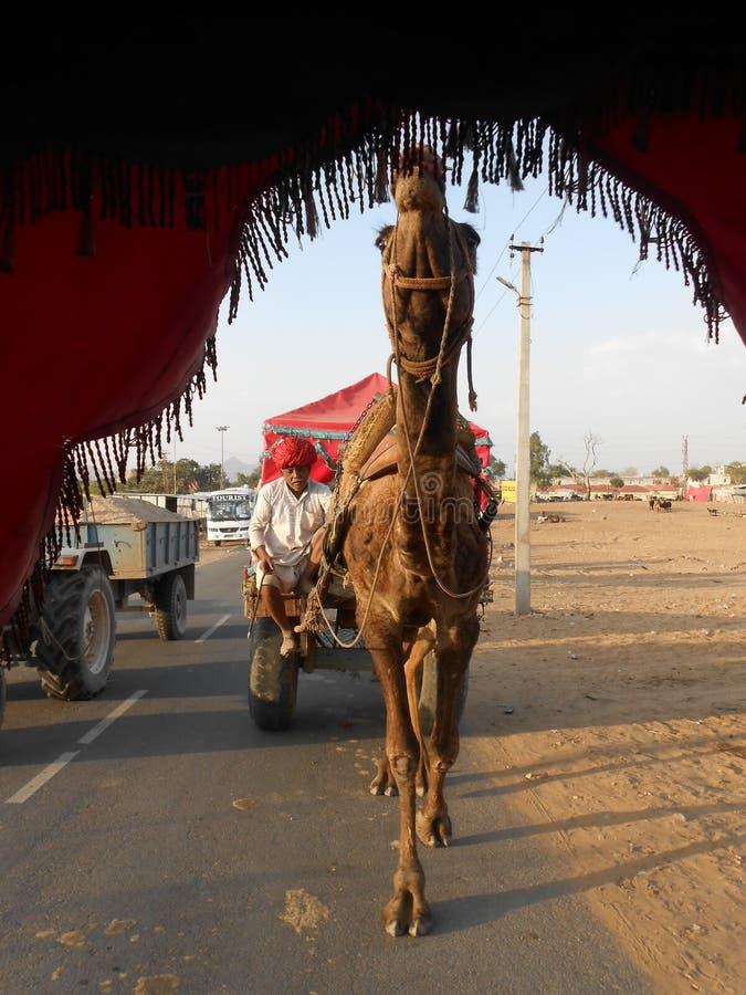 Kamel-Fahrt in Pushkar, Rasjasthan lizenzfreie stockfotos