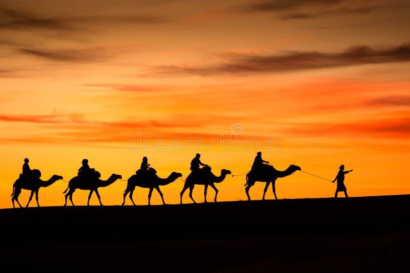 Kamel från Sahara Desert arkivbilder