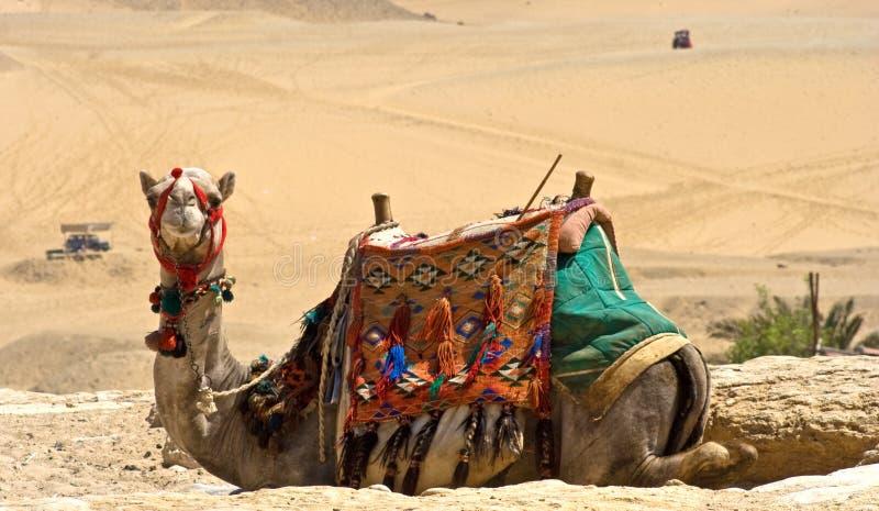 kamel giza arkivfoton