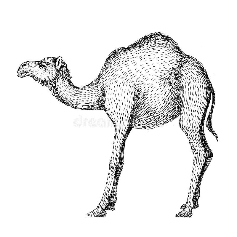 Kamel Hand tecknad vektorillustration Kan användas separat från din design Linje konststil av teckningen, hand - som göras med bl stock illustrationer