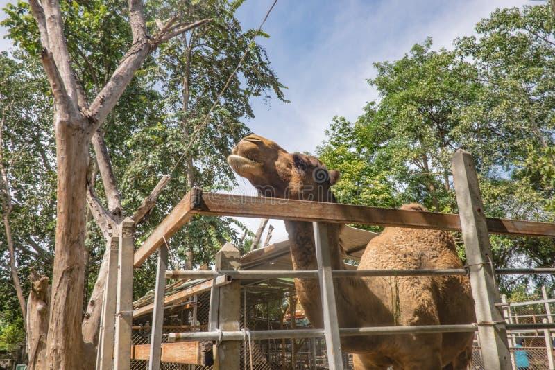 Kamel hinter Holzkäfig stockfotografie