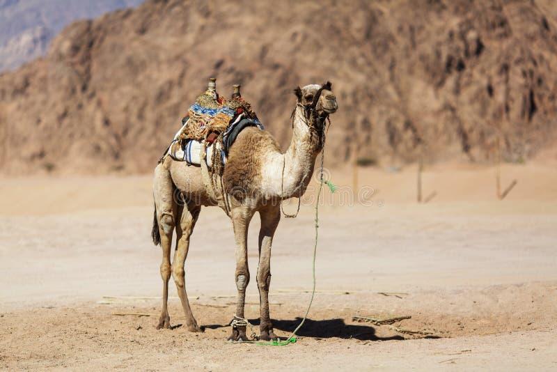 Kamel i öknen egypt fotografering för bildbyråer