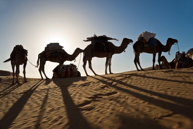 Kamel i öknen för sanddyn av Sahara royaltyfri fotografi