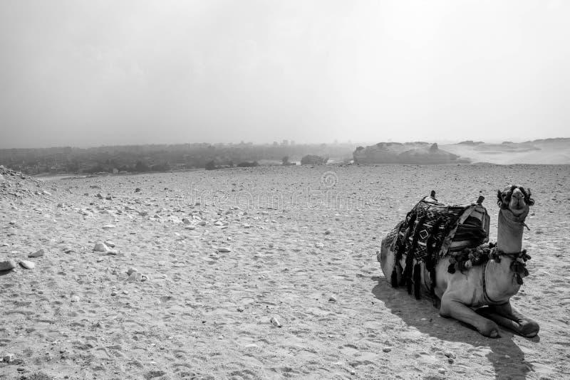 Kamel i öknen Giza, Egypten fotografering för bildbyråer