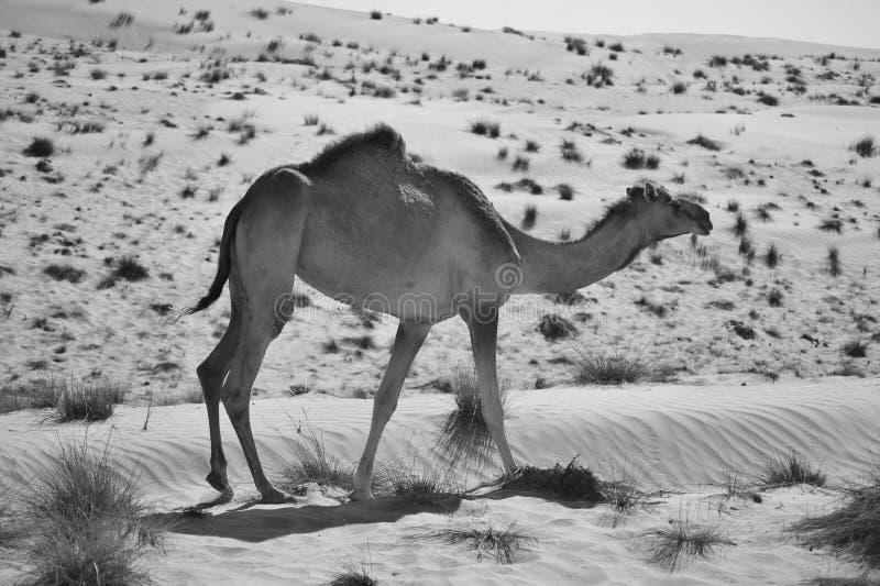 Kamel i öknen i svartvitt royaltyfri fotografi