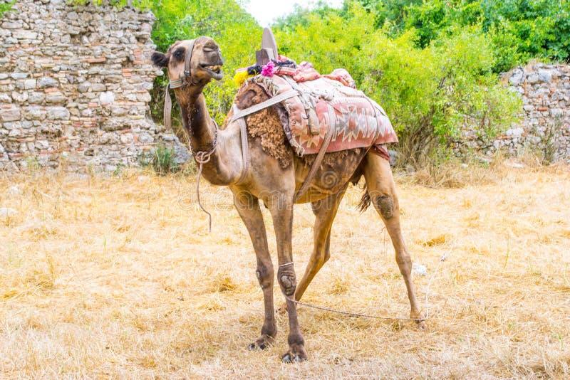 Kamel i den historiska delen av sidan kalkon Sidostad royaltyfria bilder