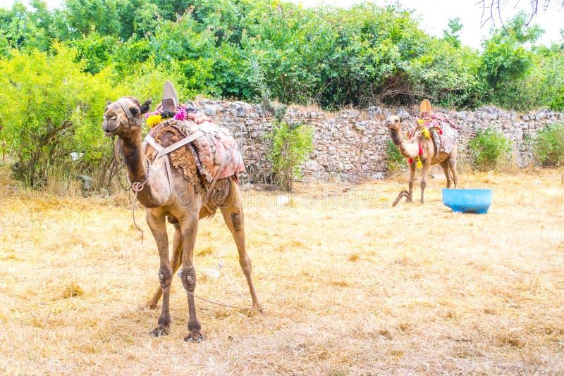 Kamel i den historiska delen av sidan kalkon Sidostad royaltyfri fotografi