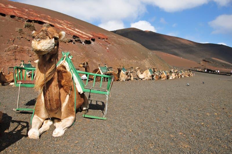 Kamel i Lanzarote arkivbilder