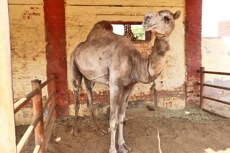 Kamel i nationell forskningmitt på kamlet, Bikaner arkivbild