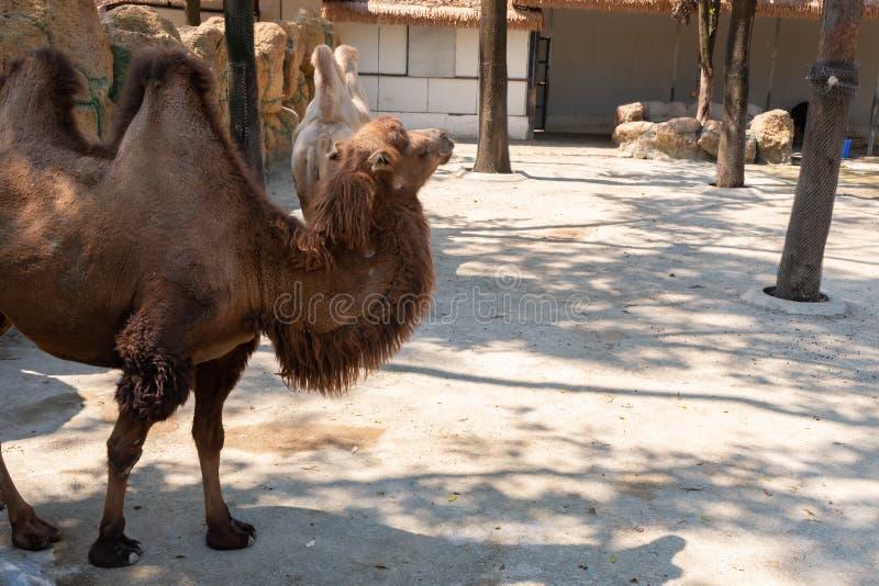 Kamel i zoo i dagtid royaltyfri bild