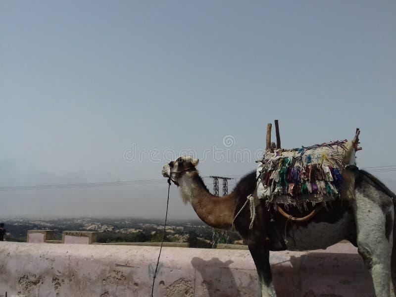 Kamel im Berg stockbild