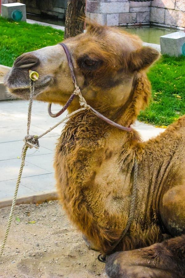 Kamel im beschäftigten chinesischen Park lizenzfreies stockfoto