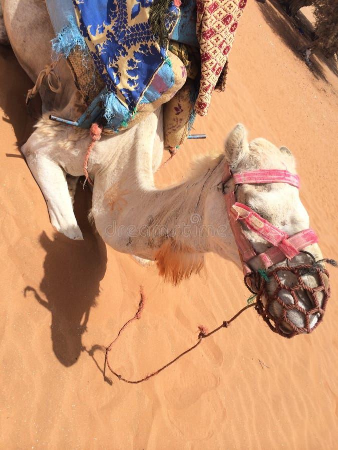 Kamel im Sahara stockfoto