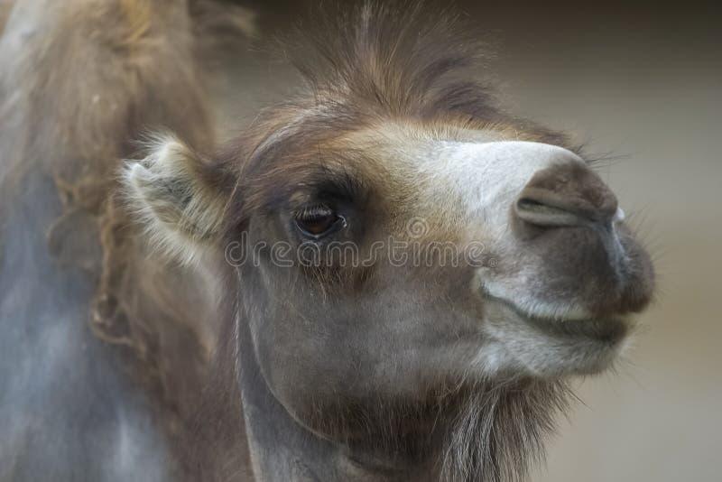 Kamel im Zoo, Kamelnahaufnahme stockfotografie