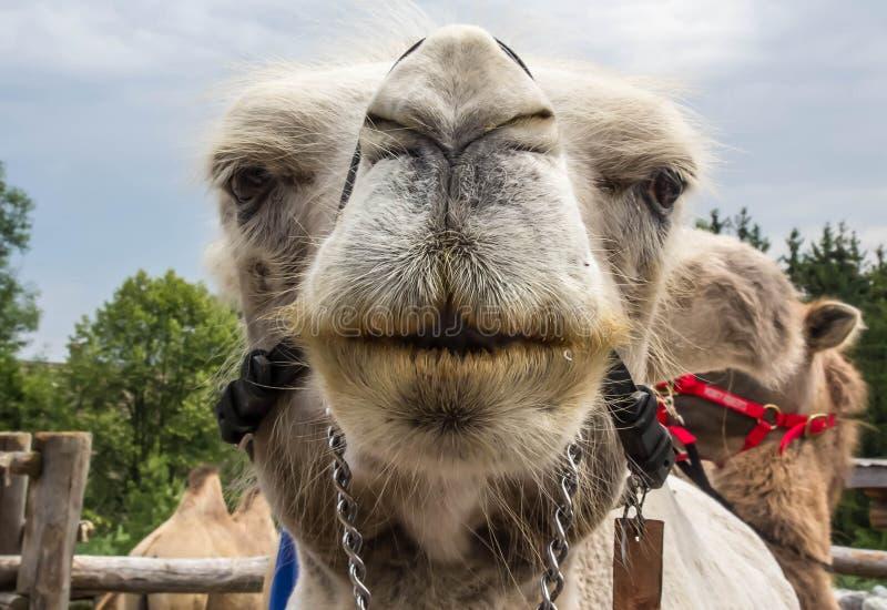 Kamel-Kuss stockfoto