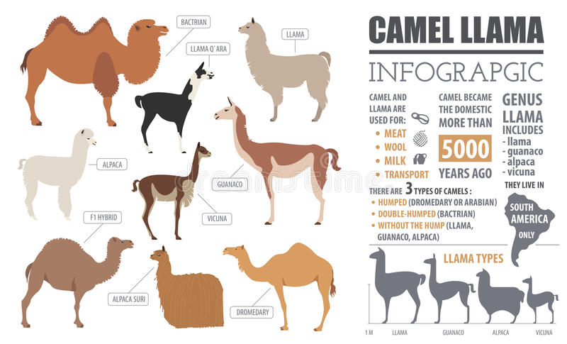 Kamel, Lama, Guanaco, Alpaka züchtet infographic Schablone lizenzfreie abbildung