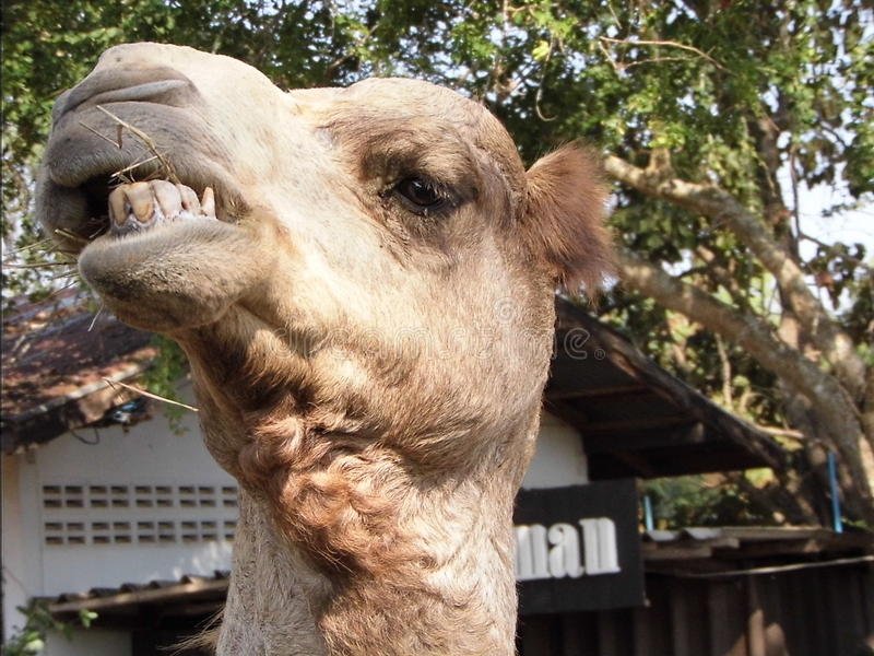 Kamel lustig lizenzfreie stockfotografie