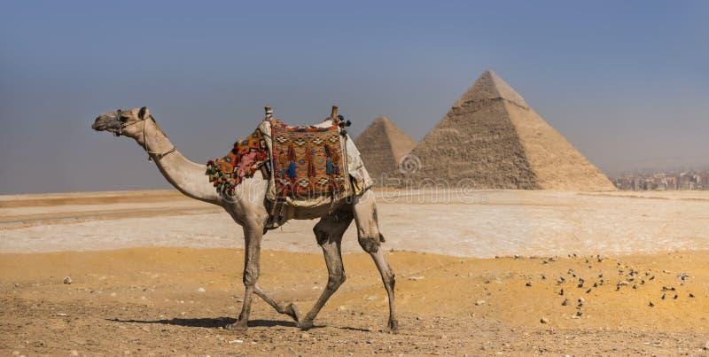 Kamel med pyramiderna av Gizeh, Egypten royaltyfri fotografi