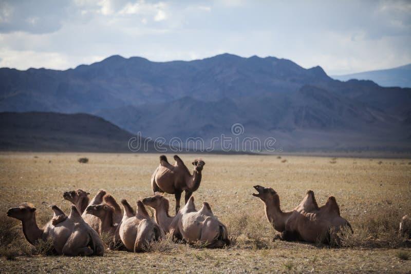 kamel mongolia arkivfoto