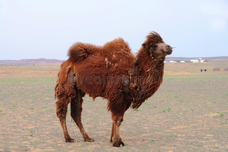 kamel mongolia arkivfoton