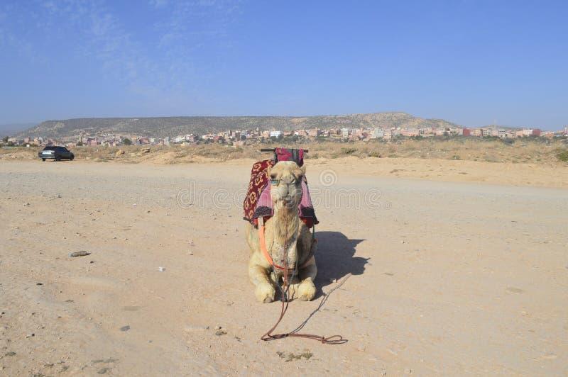 kamel morocco arkivbilder