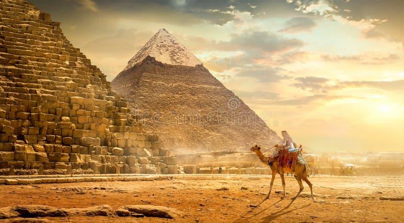 Kamel nära pyramider arkivfoton