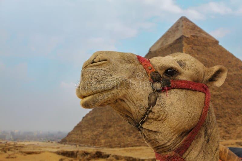 Kamel nära pyramiderna som stirrar med ett leende arkivfoto