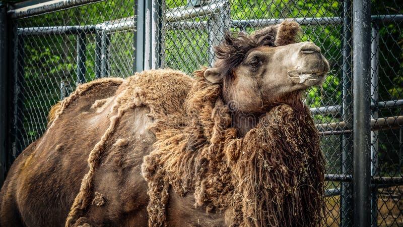Kamel och dromedar arkivfoto